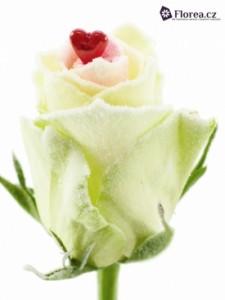 Bílá růže premium - prodej