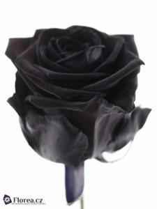 Černá růže - prodej růží