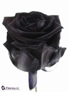 Růže prodej sazenic