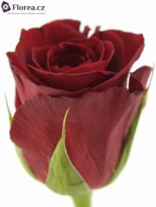 Rudá růže - prodej