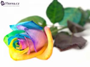 Duhové růže - prodej