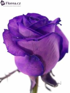 Fialová růže - prodej