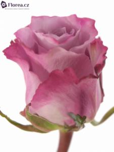 fialova-ruze-prodej-gr-maritim-45704