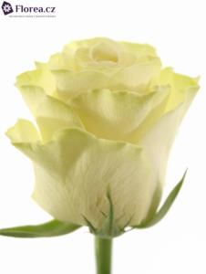 Krémová růže - prodej