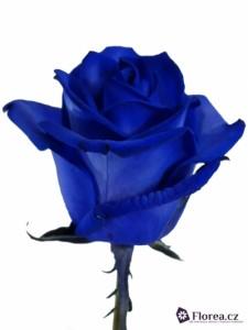 Modrá růže - prodej růží