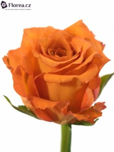 Oranžová růže - prodej