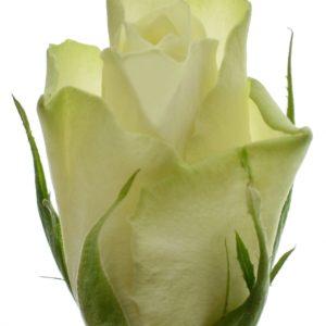 Řezané růže - Bílá růže ATHENA 40cm (S)