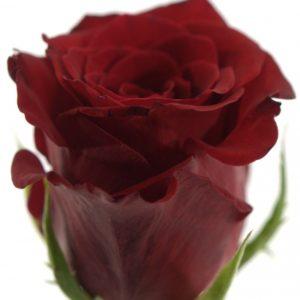Řezané růže - Červená růže INCREDIBLE 50cm (M)