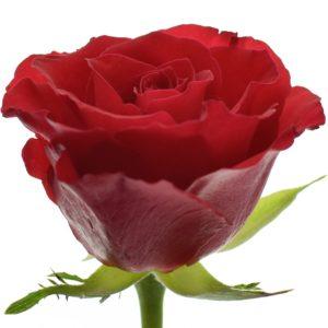 Řezané růže - Červená růže RED CALYPSO 50cm (S)