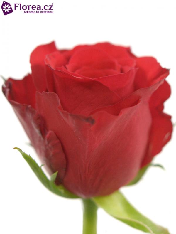 Řezané růže - Červená růže RED CORVETTE 50cm (M)