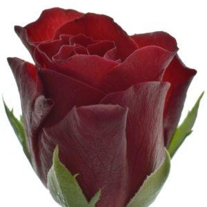 Řezané růže - Červená růže TORERO 40cm (S)