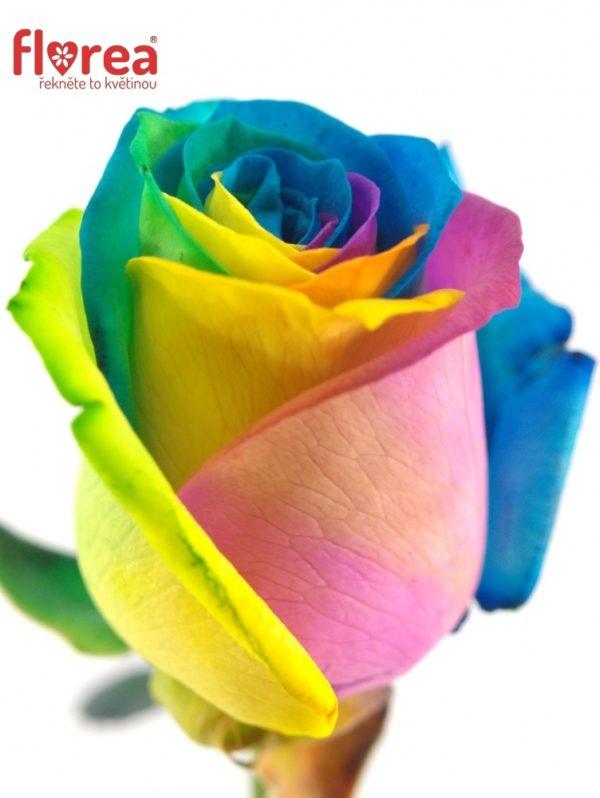 Řezané růže - Duhová růže RAINBOW 65cm (M)