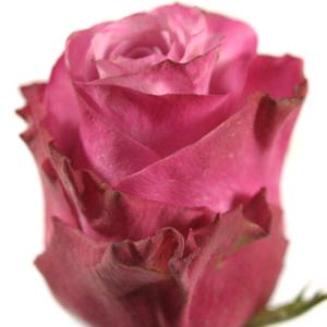 Řezané růže - Fialová růže DEEP WATER 50cm (M)