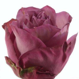 Řezané růže - Fialová růže MOODY BLUES 60cm (L)