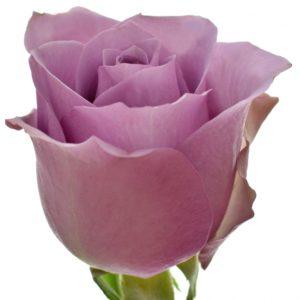 Řezané růže - Fialová růže NIGHTINGALE! 50cm (M)