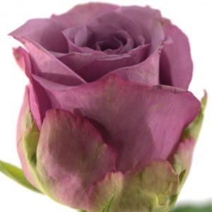 Řezané růže - Filalová růže COOL WATER 50cm (L)