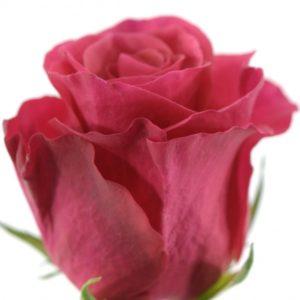 Řezané růže - Malinová růže TACAZZI 40cm (M)