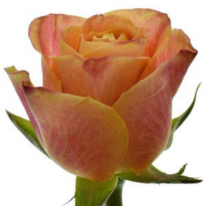 Řezané růže - Oranžová růže MARACUJA 50cm (XL)
