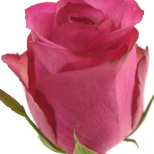 Řezané růže - Fialovobílá růže ISADORA 60cm