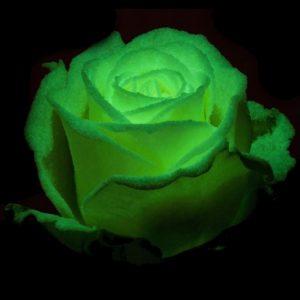 Řezané růže - Svítící růže AVALANCHE GLOW 60cm (L)