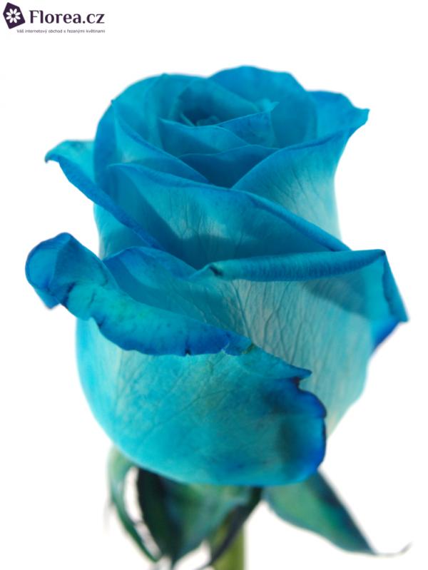 Řezané růže - Modrá růže LIGHT BLUE VENDELA 60cm (M)