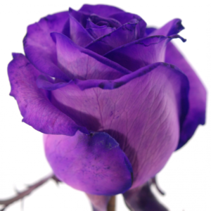 Řezané růže - Fialová růže PURPLE VENDELA 60cm (M)