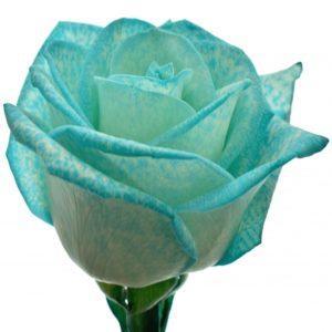Řezané růže - Ledově modrá růže ICE BLUE VENDELA 60cm (M)