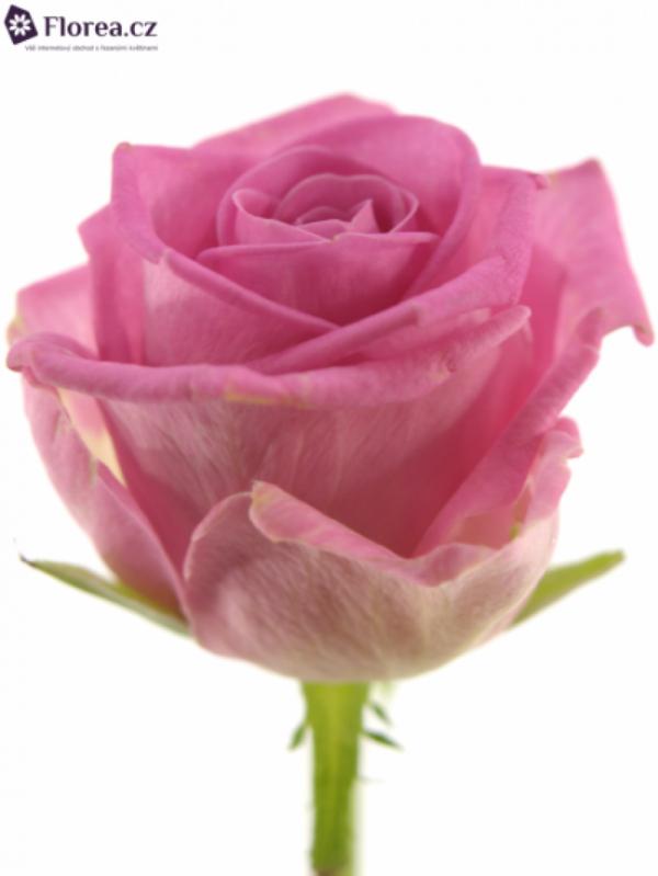 Řezané růže - Růžová růže AQUA 60cm (M)