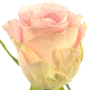 Řezané růže - Růžová růže BISOU 60cm (M)