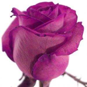 Řezané růže - Růžová růže CERISE VENDELA 60cm (M)