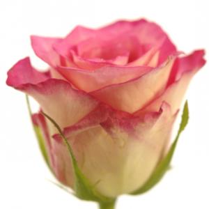 Řezané růže - Růžová růže ENSEMBLE 60cm (S)