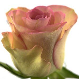 Řezané růže - Růžová růže GLOW! 50cm (M)