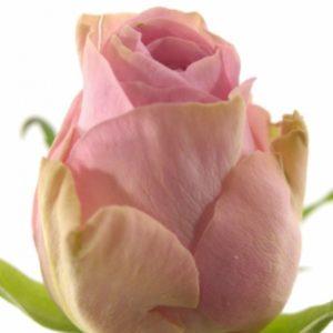 Řezané růže - Růžová růže HEIDI! 60cm (M)