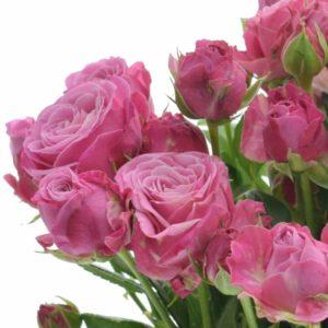 Řezané růže - Růžová růže LADY BOMBASTIC 70cm/5+ (M)