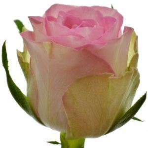 Řezané růže - Růžová růže LOVELY JEWEL 60cm (S)