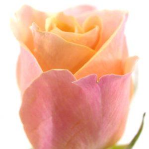 Řezané růže - Růžová růže LOWLANDS 50cm (S)