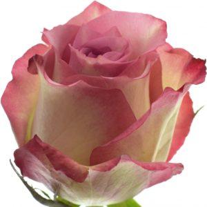 Řezané růže - Růžová růže MELINA 80cm (XL)