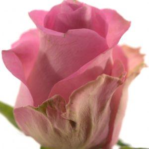 Řezané růže - Růžová růže REVIVAL 50cm (S)