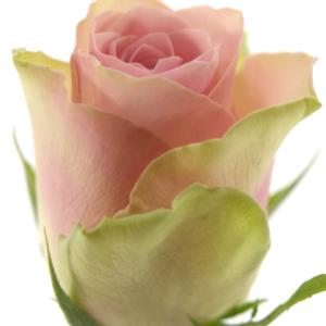 Řezané růže - Růžovozelená růže BELLE ROSE 50cm (M)