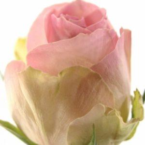 Řezané růže - Světle růžová růže AVALANCHE SORBET+ 70cm (L)